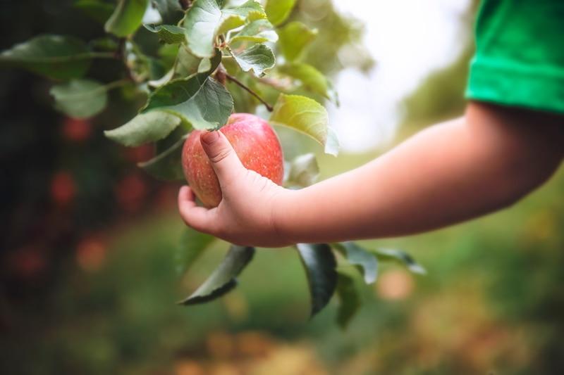 Family Photographer, little boy picking an apple